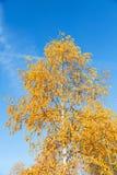 Hojas amarilleadas del abedul en un cielo azul del fondo Fotos de archivo