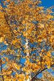 Hojas amarilleadas del abedul en un cielo azul del fondo Fotos de archivo libres de regalías
