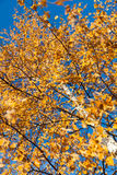 Hojas amarilleadas del abedul en un cielo azul del fondo Imagenes de archivo