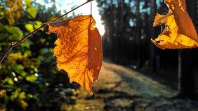 Hojas anaranjadas Imagen de archivo