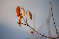 Hojas anaranjadas Foto de archivo