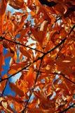 Hojas anaranjadas de la caída en un árbol Foto de archivo libre de regalías