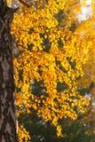 Hojas anaranjadas del abedul en luz del sol Fotografía de archivo