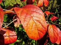Hojas anaranjadas del color fotografía de archivo libre de regalías
