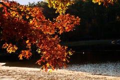Hojas anaranjadas del roble que brillan intensamente en otoño Imagen de archivo libre de regalías