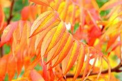 Hojas anaranjadas del typhina de Autumn Rhus Fotografía de archivo