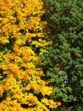 Hojas anaranjadas y verdes Imagen de archivo libre de regalías