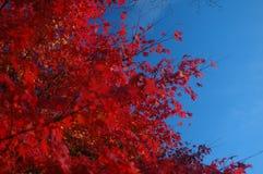 Hojas asombrosas del rojo contra el cielo azul quebradizo Foto de archivo