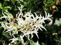 Hojas blancas hermosas del árbol de Benth del religiosa de Wrightia en una estación de primavera en un jardín botánico Imagenes de archivo
