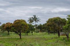 Hojas blandas de la primavera en árboles de mango foto de archivo libre de regalías