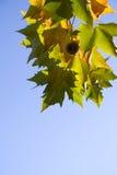 Hojas brillantes del árbol del platanus Fotografía de archivo