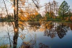 Hojas brillantes del abedul en la luz del sol en otoño Fotografía de archivo libre de regalías