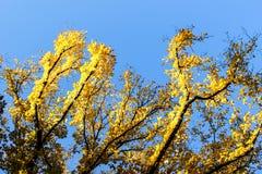 Hojas brillantes del amarillo Foto de archivo libre de regalías