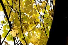 Hojas brillantes del amarillo Fotografía de archivo