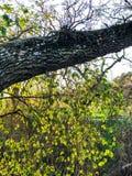 Hojas brillantes que juran abajo en el árbol Foto de archivo libre de regalías
