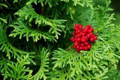 Hojas brillantes verdes de árboles coníferos con las bayas rojas Imagenes de archivo