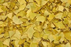 Hojas caidas amarillo del biloba del Ginkgo imágenes de archivo libres de regalías
