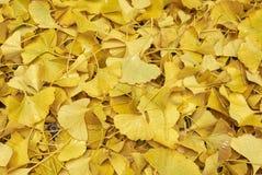 Hojas caidas amarillo del biloba del Ginkgo foto de archivo libre de regalías