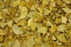 Hojas caidas amarillo del biloba del Ginkgo imagen de archivo libre de regalías