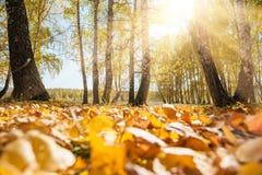 Hojas caidas amarillo en bosque del otoño Fotos de archivo libres de regalías