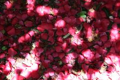 Hojas caidas de las rosas que forman una alfombra en la tierra imagenes de archivo
