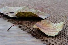Hojas caidas del árbol de álamo Fotos de archivo