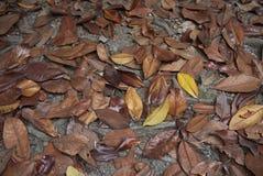 Hojas caidas del árbol grandiflora de la magnolia imágenes de archivo libres de regalías