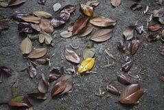Hojas caidas del árbol grandiflora de la magnolia fotos de archivo libres de regalías