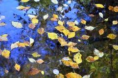 Hojas caidas del abedul en la corriente del agua Fotografía de archivo libre de regalías