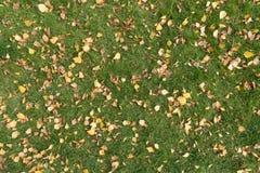 Hojas caidas del abedul en la hierba Fotografía de archivo