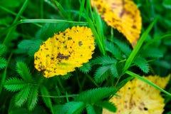 Hojas caidas del amarillo en hierba verde Fotografía de archivo