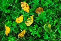 Hojas caidas del amarillo en hierba verde Imágenes de archivo libres de regalías