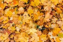 Hojas caidas del amarillo en primer del otoño Fotos de archivo