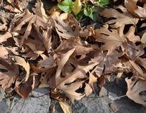 Hojas caidas del marrón Fotografía de archivo libre de regalías