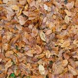 Hojas caidas del marrón en la tierra Fotografía de archivo libre de regalías