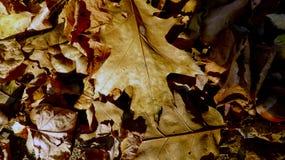 Hojas caidas del roble marrón Fotos de archivo