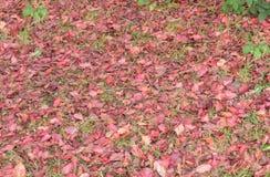 Hojas caidas del rojo en la tierra Foto de archivo libre de regalías