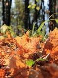 Hojas caidas en bosque del otoño Fotografía de archivo