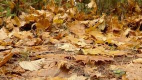 Hojas caidas en la tierra D3ia del otoño Carro liso tirado a la derecha almacen de metraje de vídeo