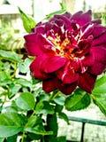 Hojas color de rosa y verdes del rojo imagen de archivo libre de regalías
