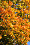 Hojas coloreadas en verde, rojo y anaranjado amarillos. Imagen de archivo libre de regalías