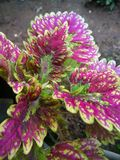 hojas coloreadas hermosas de la púrpura de las plantas imagenes de archivo