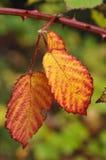 Hojas coloridas Imagen de archivo libre de regalías