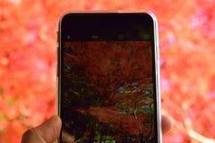 Hojas coloridas de Autumn Maple del japonés con iPhone Fotos de archivo libres de regalías