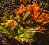 Hojas coloridas de la caída Fotografía de archivo