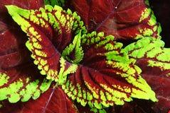 Hojas coloridas de la planta Imagenes de archivo