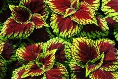 Hojas coloridas de la planta Fotografía de archivo libre de regalías