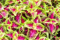Hojas coloridas de la planta del coleo Imagenes de archivo