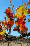 Hojas coloridas de los viñedos en la caída Foto de archivo libre de regalías