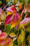 Hojas coloridas de uvas salvajes Imágenes de archivo libres de regalías